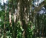 Banyan Tree in Pavones