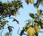 Flying Squirrel Monkey in Pavones