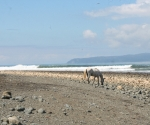 Horse on Pavones Beach