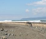 Horse on Pavones Beach