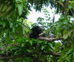 Howler Monkey in Pavones
