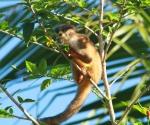 Squirrel Monkey in Pavones