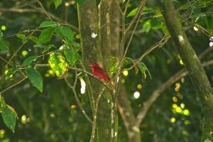 Bird Watching in Pavones