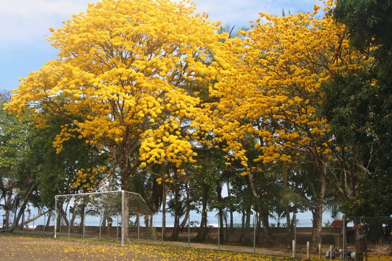 Yellow Cortez Tree in Costa Rica